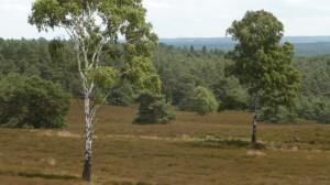 Schöne Aussicht: Heidelandschaft mit Birken