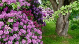 Rhododendron in Alpenrod
